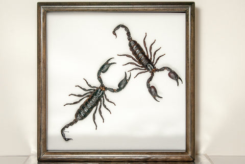 Indonesian Scorpions - Insect Frame UK