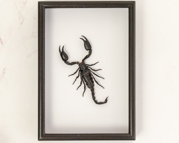 Giant forest scorpion Framed Scorpion, Scorpion Frame - Insect Frame UK, Insect Frame UK