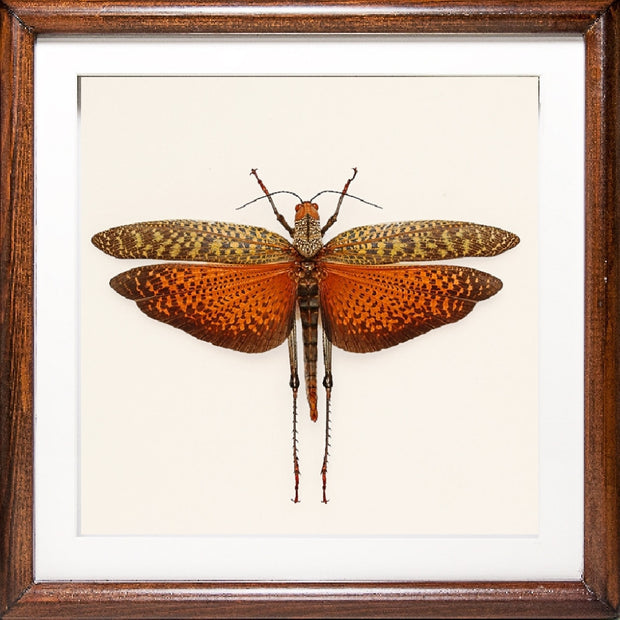 Purple and Red Grasshopper Red Grasshopper, Insect Frame - Insect Frame UK, Insect Frame UK  - 2