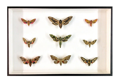 Purple-Green Collection of Nine British Hawk Moths - Insect Frame UK
