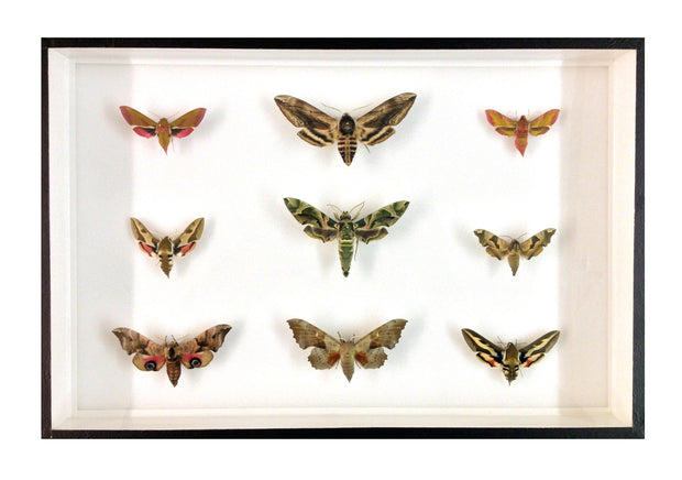 Purple-Green Collection of Nine British Hawkmoths , Natural History Collection - Insect Frame UK, Insect Frame UK  - 1