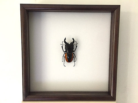 Giant Orange Stag Beetle - Insect Frame UK
