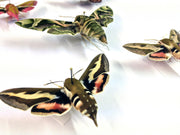 Purple-Green Collection of Nine British Hawkmoths , Natural History Collection - Insect Frame UK, Insect Frame UK  - 2