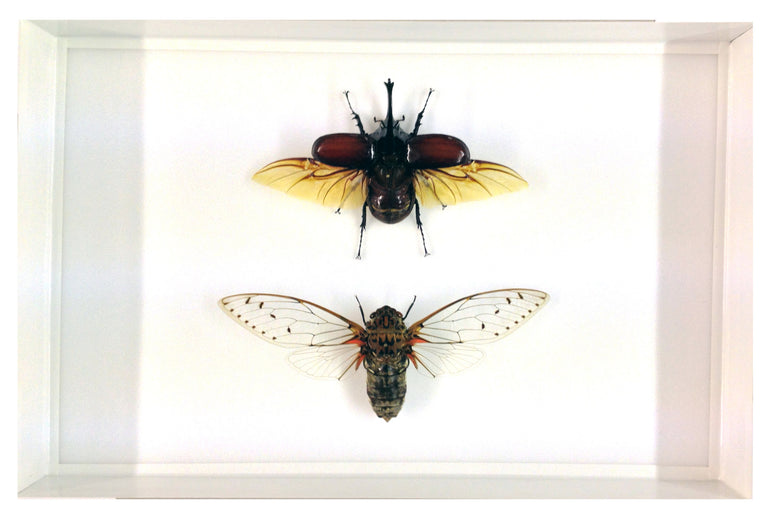 Centaurus Beetle together with a Clearwing Cicada , Insect Frame - Insect Frame UK, Insect Frame UK  - 1