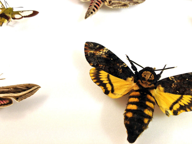 Death's head Hawk Moth Collection - Insect Frame UK