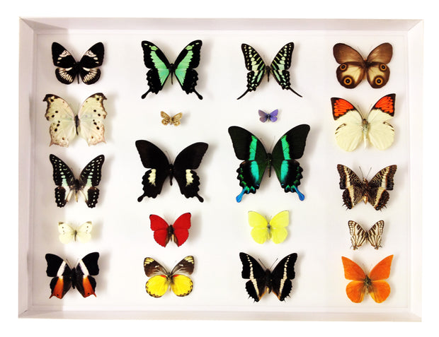 Twenty World Tropical Butterflies , Natural History Collection - Insect Frame UK, Insect Frame UK  - 4