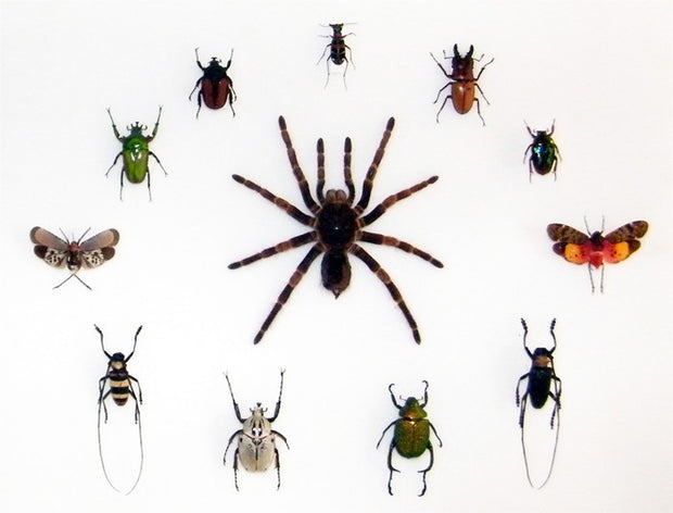 Mixed Tropical Insects , Natural History Collection - Insect Frame UK, Insect Frame UK  - 2