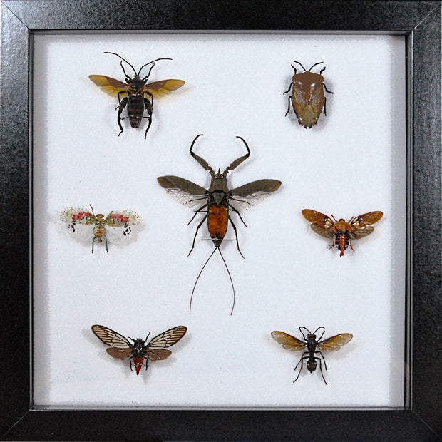 Java Insects Collection MDF 25x25 / Black, Insect Frame - Insect Frame UK, Insect Frame UK  - 1