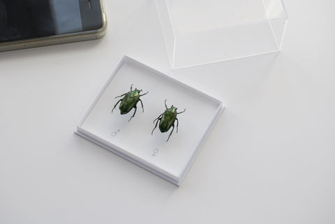 Lomaptera batchiana Pair beetles , Insect Frame - Insect Frame UK, Insect Frame UK  - 1