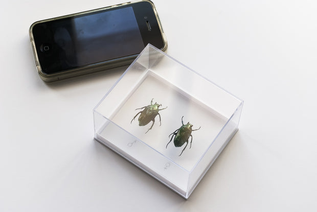 Lomaptera batchiana Pair beetles Acrylic, Insect Frame - Insect Frame UK, Insect Frame UK  - 3