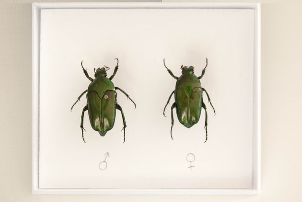 Lomaptera batchiana Pair beetles , Insect Frame - Insect Frame UK, Insect Frame UK  - 2