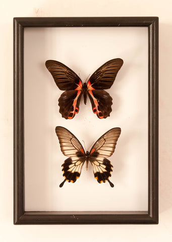 Papilio Lowi - Insect Frame UK