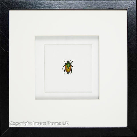 Emeralds Beetles Beetle Macraspis black, Beetle Frame - Insect Frame UK, Insect Frame UK  - 1