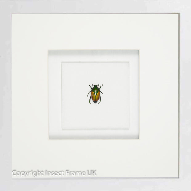 Emeralds Beetles , Beetle Frame - Insect Frame UK, Insect Frame UK  - 6