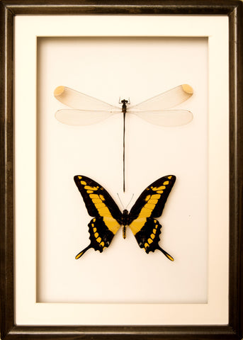 Giant Damselfly and King Swallowtail 25x35 black frame, Insect Frame - Insect Frame UK, Insect Frame UK  - 1