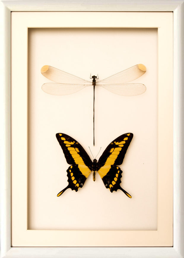Giant Damselfly and King Swallowtail 25x35 white frame, Insect Frame - Insect Frame UK, Insect Frame UK  - 2