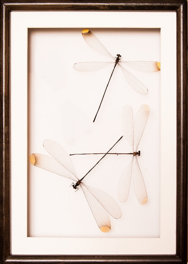 Damselflies Couple Collection Trio in black frame, Insect Frame - Insect Frame UK, Insect Frame UK  - 1