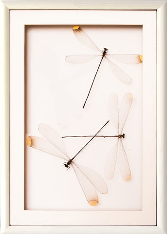 Damselflies Couple Collection Trio in white frame, Insect Frame - Insect Frame UK, Insect Frame UK  - 2