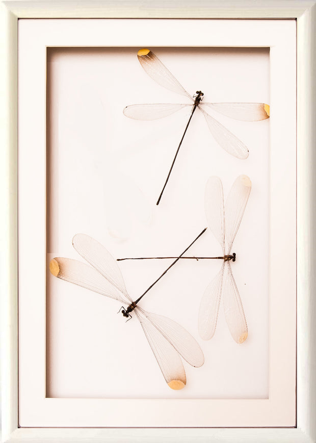 Damselflies Couple Collection - Insect Frame UK