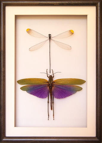 Damselflies and Grasshopper Collection - Insect Frame UK