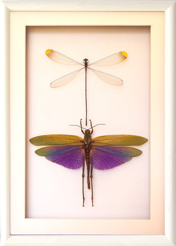 Damselflies and Grasshopper Collection , Insect Frame - Insect Frame UK, Insect Frame UK  - 2