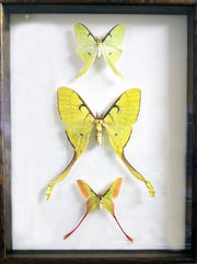 USA & ASIA Moon Moths , Natural History Collection - Insect Frame UK, Insect Frame UK