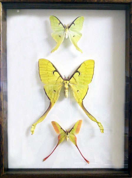 USA & ASIA Moon Moths - Insect Frame UK