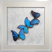 Morpho Didius Art Panel Collection Three morpho white 50x50cm, Butterfly Frame - Insect Frame UK, Insect Frame UK  - 1