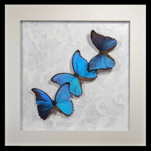 Morpho Didius Art Panel Collection Three morpho black 50x50cm, Butterfly Frame - Insect Frame UK, Insect Frame UK  - 2