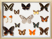 Collection of Indonesian Butterflies Natural, Natural History Collection - Insect Frame UK, Insect Frame UK  - 3