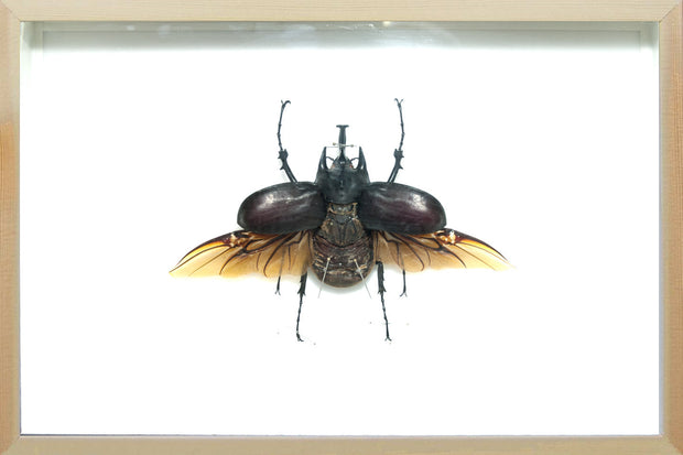 Megasoma Actaeon Beetle Real Megasoma Acteon on natural frame, Beetle Frame - Insect Frame UK, Insect Frame UK  - 2