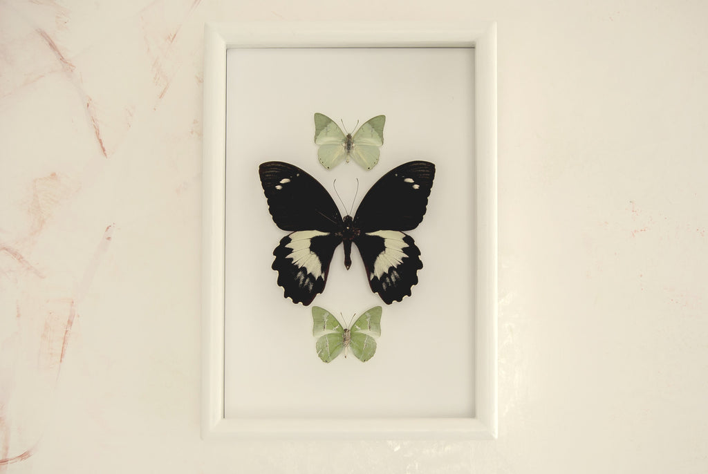 Is Snow white? White, Butterfly Frame - Insect Frame UK, Insect Frame UK  - 1