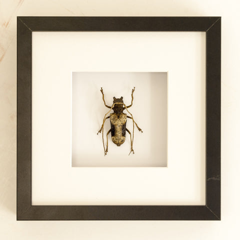 Giant African Long-Horn 25x25,  - Insect Frame UK, Insect Frame UK  - 1
