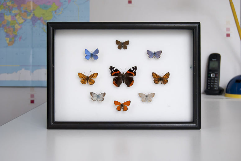 British Butterflies Collection - Insect Frame UK