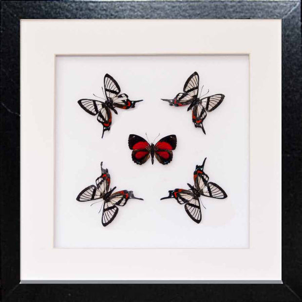 Nuit d'Amour Collection - Insect Frame UK