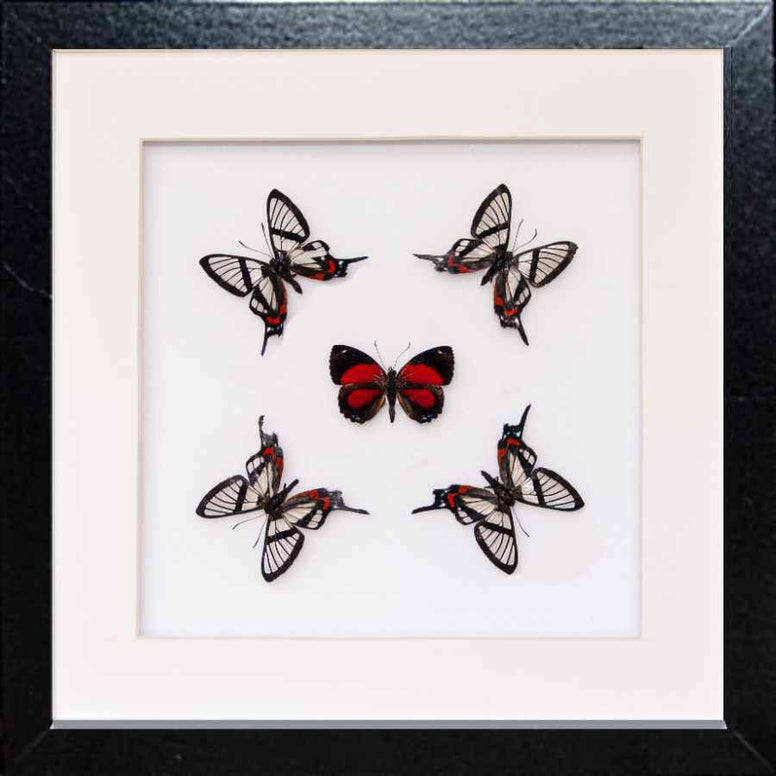 Nuit d'Amour Collection Nuits d'amour in black, Butterfly Frame - Insect Frame UK, Insect Frame UK  - 1