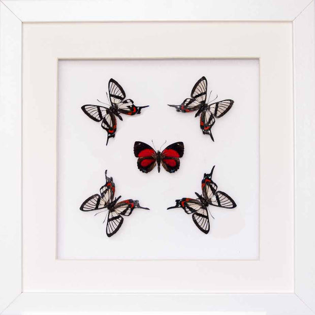 Nuit d'Amour Collection Nuits d'amour in white, Butterfly Frame - Insect Frame UK, Insect Frame UK  - 2