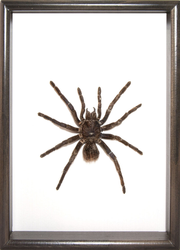 Blue Bird Eating Tarantula , Spider Frame - Insect Frame UK, Insect Frame UK