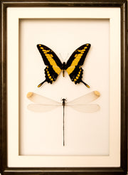 Giant Damselfly and King Swallowtail 25x35 black frame 1, Insect Frame - Insect Frame UK, Insect Frame UK  - 4