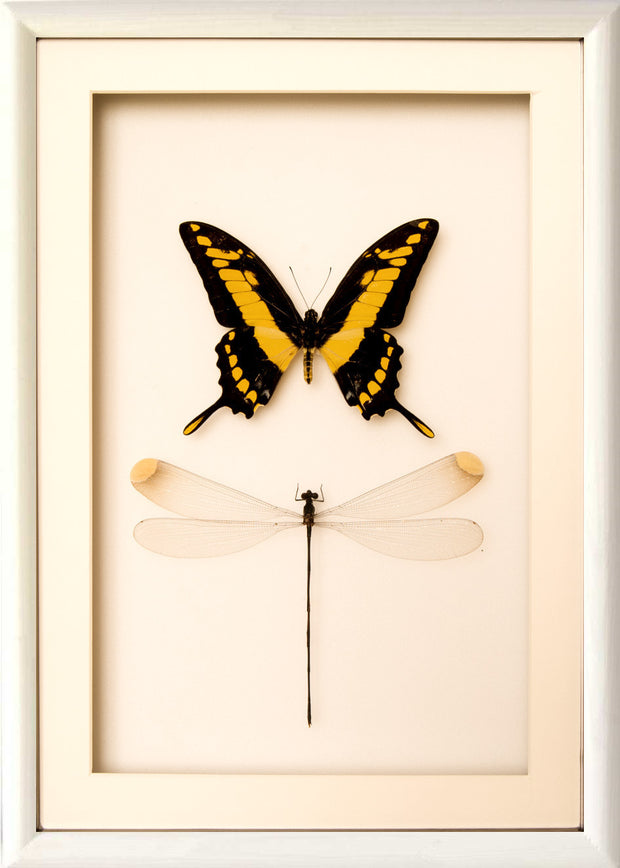 Giant Damselfly and King Swallowtail 25x35 white frame 1, Insect Frame - Insect Frame UK, Insect Frame UK  - 3