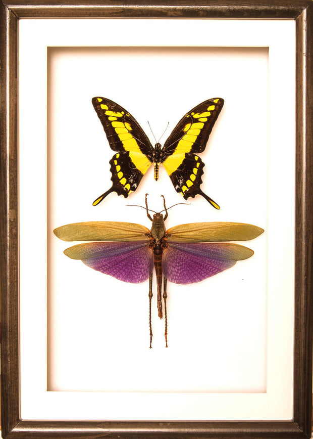 King Swallowtail and Grasshopper 25x35 black frame, Insect Frame - Insect Frame UK, Insect Frame UK  - 2