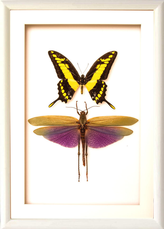 King Swallowtail and Grasshopper 25x35 white frame, Insect Frame - Insect Frame UK, Insect Frame UK  - 1