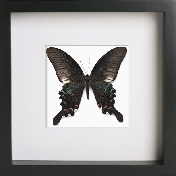 Papilio Polyctor Black Frame - White Background, Butterfly Frame - Insect Frame UK, Insect Frame UK  - 2