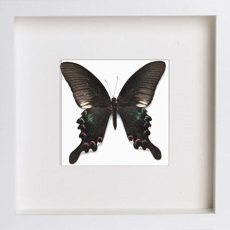 Papilio Polyctor White Frame - White Background, Butterfly Frame - Insect Frame UK, Insect Frame UK  - 1