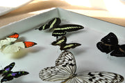 Collection of Indonesian Butterflies , Natural History Collection - Insect Frame UK, Insect Frame UK  - 5