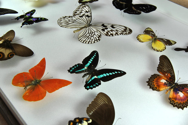 Collection of Indonesian Butterflies , Natural History Collection - Insect Frame UK, Insect Frame UK  - 4