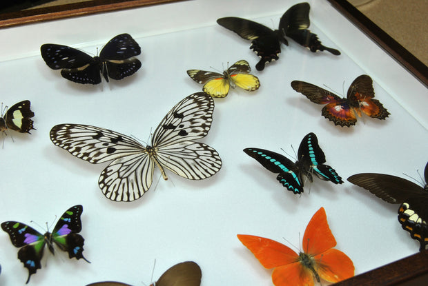 Collection of Indonesian Butterflies , Natural History Collection - Insect Frame UK, Insect Frame UK  - 2