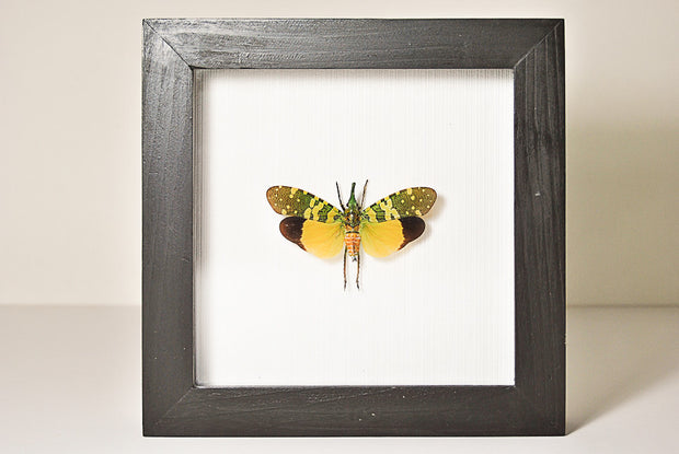 Lanternflies Small Black Frame 16.5x16.5, Insect Frame - Insect Frame UK, Insect Frame UK  - 1