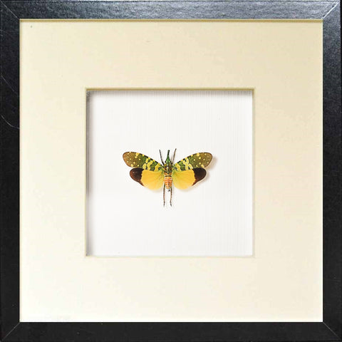 Lanternflies Black frame 25x25x4,5, Insect Frame - Insect Frame UK, Insect Frame UK  - 2