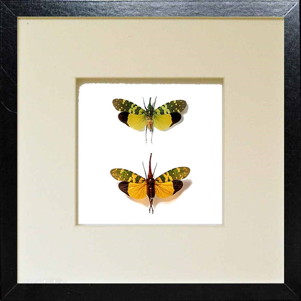 Lanternflies Duo Pyros Black Frame, Insect Frame - Insect Frame UK, Insect Frame UK  - 3